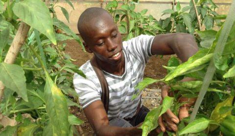 Thierno Souleymane AGNE – La culture de la fraise au Sénégal